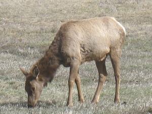 Doe Elk Apr 2009