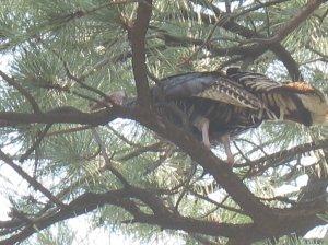 Turkey in a tree